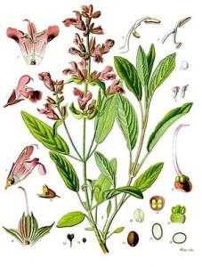 300px-Salvia_officinalis_-_Köhler–s_Medizinal-Pflanzen-126